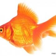 goldfish-jenny-brandon